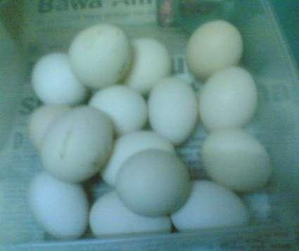 Telur Ayam Serama papit